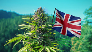 African cannabis UK export; UK CBD Market