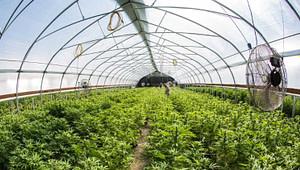 felbridge-strawberry-farm-cannabis-tunnel