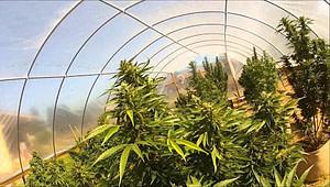 cannabis tunnel, cannabis greenhouse