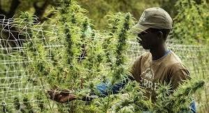 SA Cannabis Academies