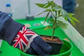 Cannabis listings UK