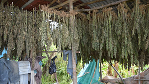 Jamaican-cannabis-farm