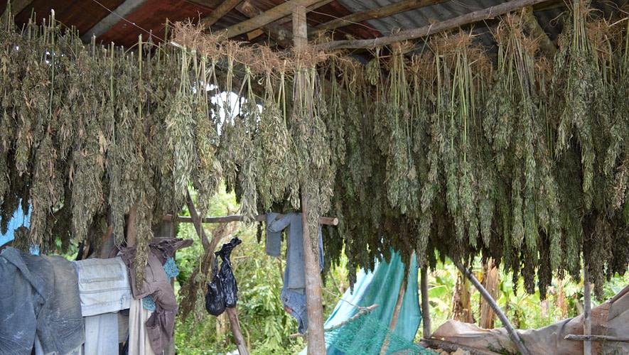 Jamaican-cannabis-farm