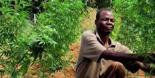 Malawi-cannabis-farmer; Malawi hemp farmers upset