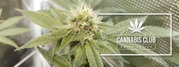 The Haze Club; SA Cannabis Clubs